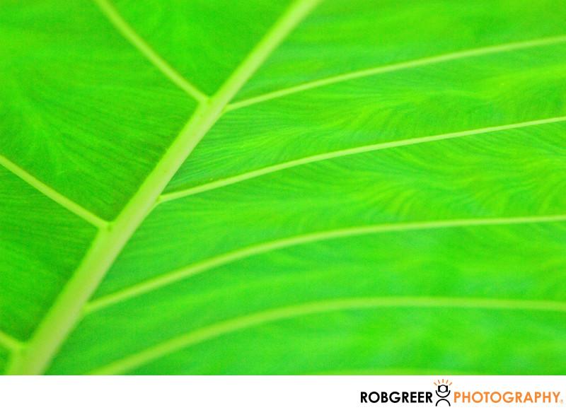 Broad Green Leafy Veins