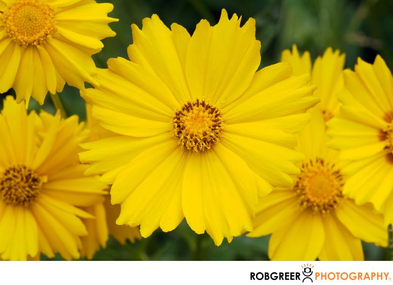 Yellow Daffodils Center Sunshine