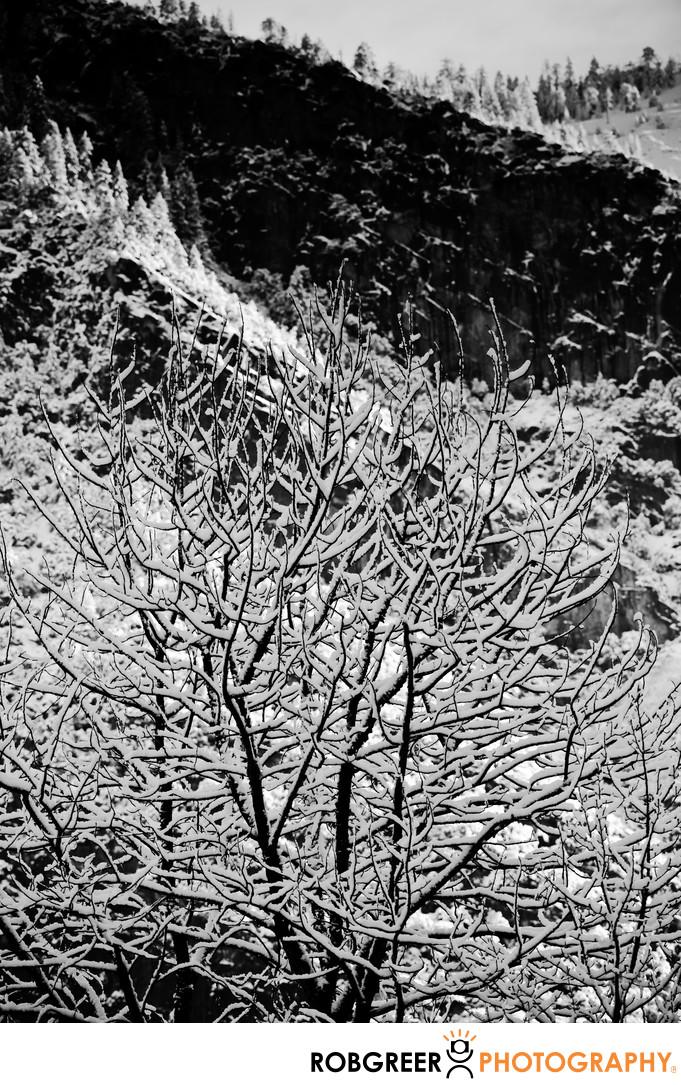 Tree Ice in Yosemite National Park