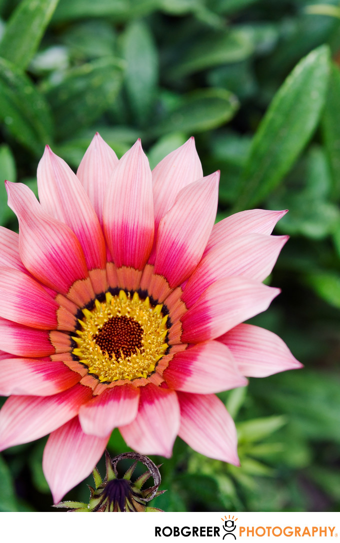 Pink Passion Bloom Opens to the World