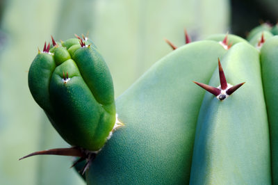 Succulent Nubby with Prickly Pointers