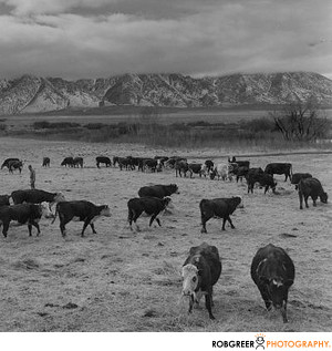 Ansel Adams Cows
