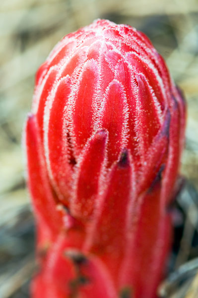 Rare Red Flora Peeks from the Forest Floor